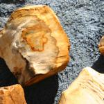Petrified wood highly agatized material, From  Roger Mt. Scio,Oregon